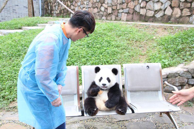 萌萌der!「情歌天王」張信哲(Jeff)榮任最新「熊貓大使」,前往四川都江堰的大熊貓基地,領養甫滿週歲的小熊貓,他穿著防護衣和手套,和小熊貓並肩而坐,起初它專心一志的吃著手上的餅乾,看到「奶爸」阿哲輕輕地摸了它的背,還好奇的望著他,後來慢慢地越來越熟,阿哲伸出手指頭,小熊貓還用兩隻小爪子抓住了他的手指頭不放,模樣相當可愛!張信哲此次肩負著保育和宣傳大熊貓的重責大任,也授命領養這隻小公熊貓,並為它命名,此刻人正在江西贛州進行演唱活動的阿哲表示,想了好多名字但都考慮中,也希望見到報導的台灣粉絲朋友們,可以一